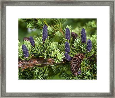 Newly Sprouted Spruce Cones Grow Amidst Framed Print by Ken Baehr