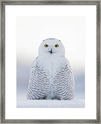 Nh Seacoast Snowy Owl  Framed Print by John Vose