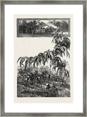 Niagara District, The Fruit Harvest, Canada Framed Print