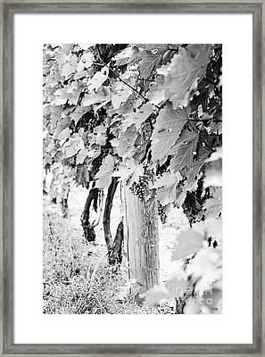 Niagara Grapes No.2 Framed Print by Scott Pellegrin