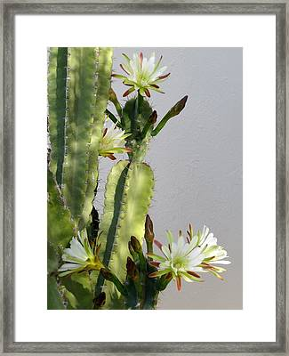 Night-blooming Cereus Framed Print by Zina Stromberg