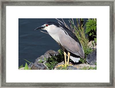 Night Heron Bird Framed Print by Diane Rada