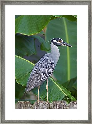 Night Heron Framed Print by Cheri Randolph