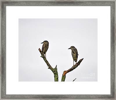 Night Heron Juveniles Framed Print