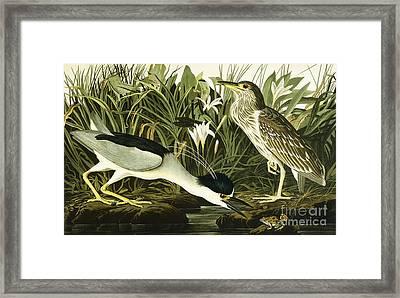Night Heron Or Lua Bird Framed Print by John James Audubon