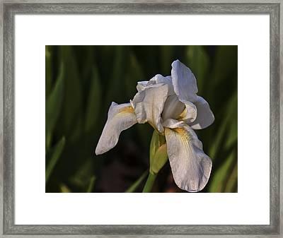 Night Iris Framed Print