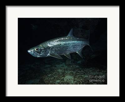 Gamefish Photographs Framed Prints