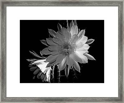 Nightblooming Cereus Cactus Flower Framed Print by Susan Duda