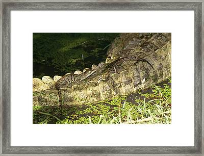 Nile Crocodile Babies Framed Print