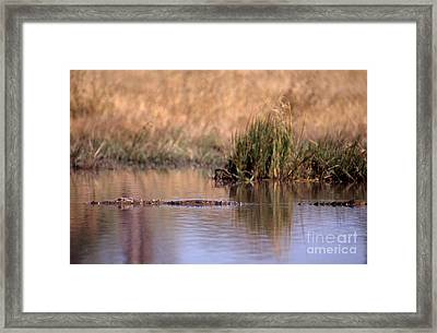 Nile Crocodile Framed Print by Gregory G. Dimijian, M.D.