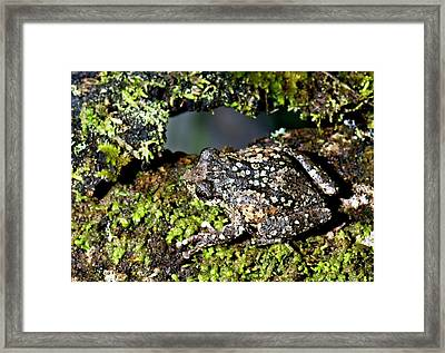 Nilgiri Bush Frog Framed Print by K Jayaram