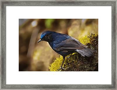 Niltava Bird Framed Print by Star Ship