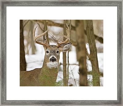 Nine Point White Tailed Buck Framed Print by John Vose
