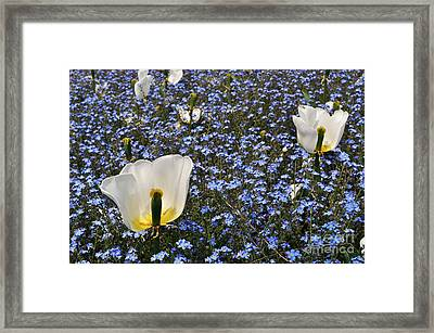 Framed Print featuring the photograph No More Tulips by Simona Ghidini
