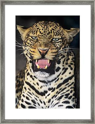 No Solicitors African Leopard Endangered Species Wildlife Rescue Framed Print by Dave Welling