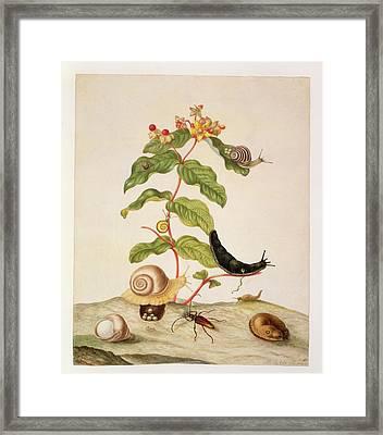 Hypericum Baxiforum Framed Print by Maria Sibylla Graff Merian