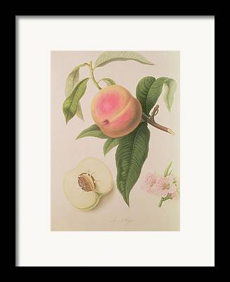 Peaches Drawings Framed Prints