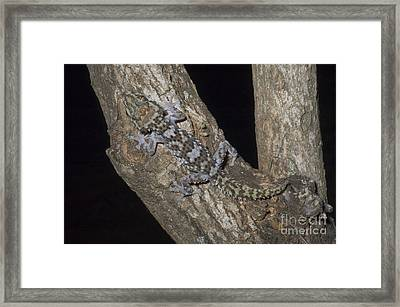 Nocturnal Gecko Framed Print by Greg Dimijian