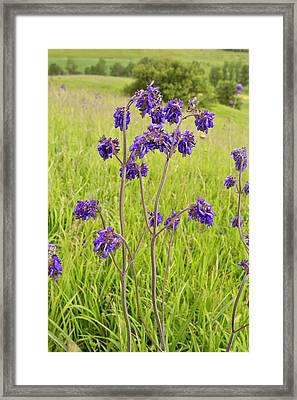 Nodding Sage (salvia Nutans) In Flower Framed Print