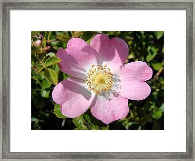 Nootka Rose Framed Print