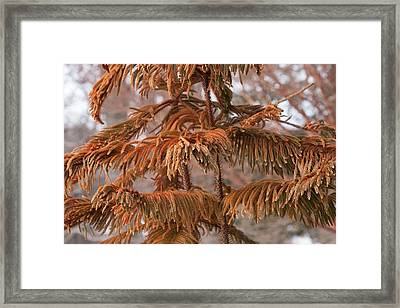 Norfolk Island Pine (a. Heterophylla) Framed Print