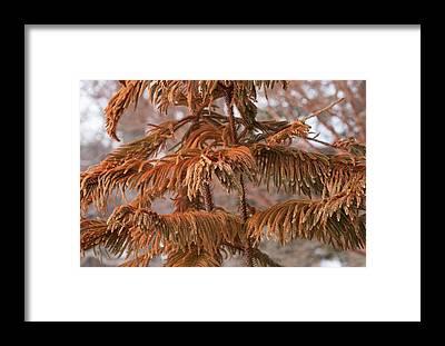 Norfolk Pine Framed Prints