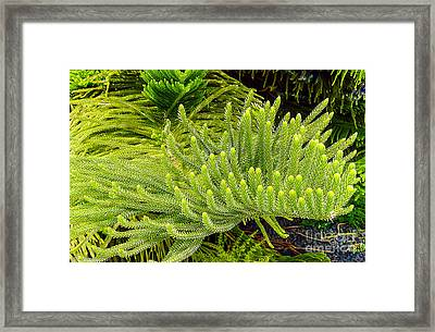 Norfolk  Island  Pine In California Framed Print by Bob and Nadine Johnston