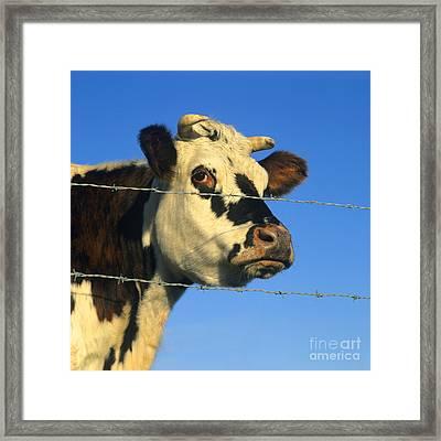 Normand Cow Framed Print by Bernard Jaubert