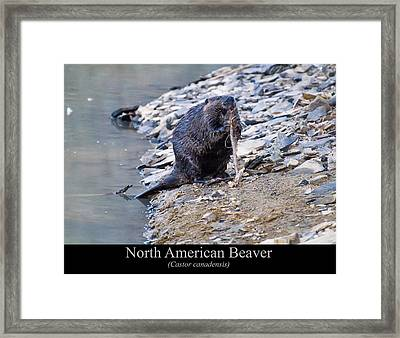 North American Beaver Framed Print