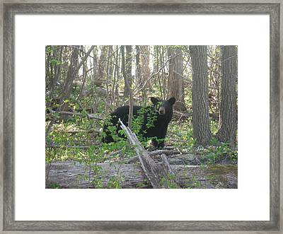 North American Black Bear Framed Print