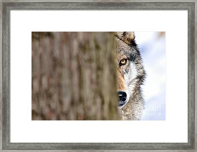 Framed Print featuring the photograph North American Gray Wolf Behind Tree by Dan Friend