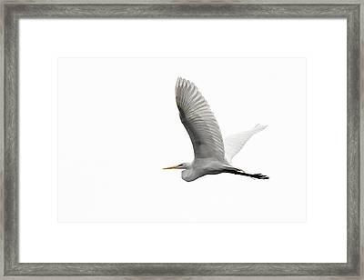 North American Great Egret Framed Print