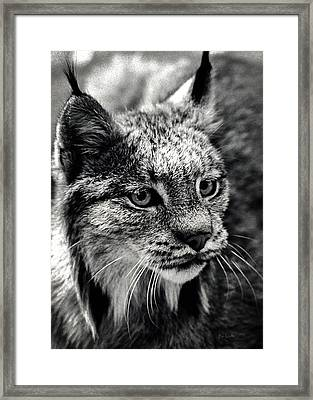 North American Lynx In The Wild. Framed Print