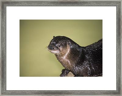 North American River Otter Framed Print by Sally Mccrae Kuyper/science Photo Library