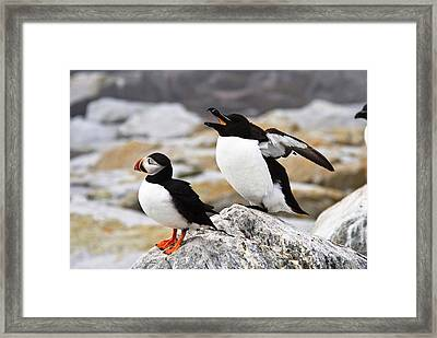 North Atlantic Puffin And Razorbill Framed Print