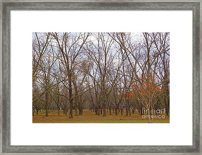 North Florida Orchard In Fall Framed Print