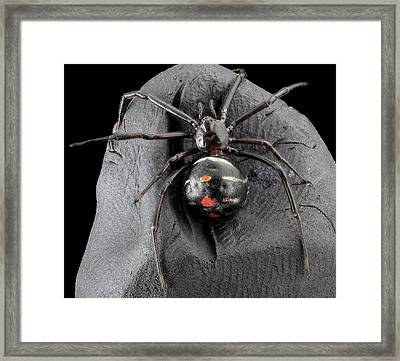 Northern Black Widow Spider Framed Print by Us Geological Survey