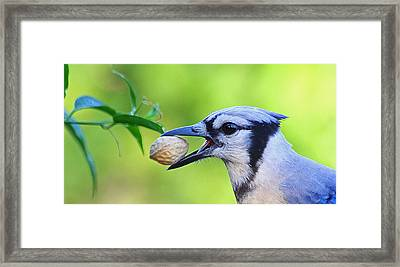 Northern Blue Jay Framed Print