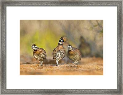 Northern Bobwhite Quail (colinus Framed Print by Larry Ditto