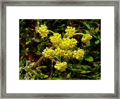 Northern Buckwheat In Park Sierra-ca Framed Print by Ruth Hager