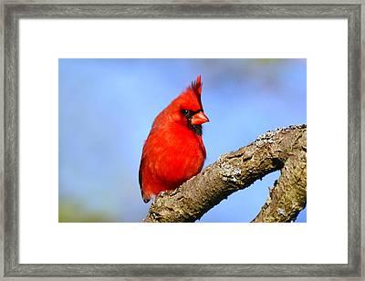 Northern Cardinal Framed Print by Christina Rollo
