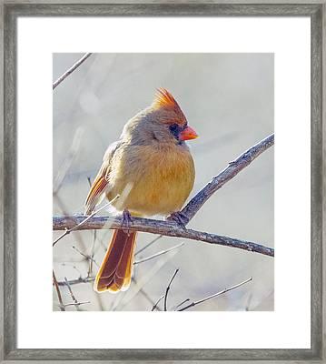 Northern Cardinal Female Framed Print