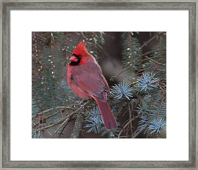 Northern Cardinal Framed Print by John Kunze