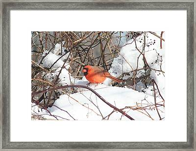 Northern Cardinal Framed Print