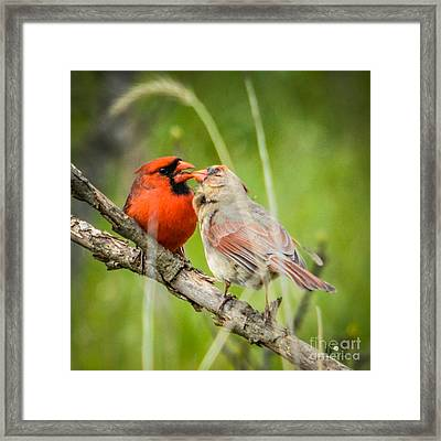 Northern Cardinal Male And Female Framed Print