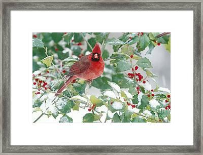 Northern Cardinal Framed Print by Steve and Dave Maslowski