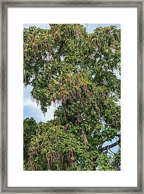 Northern Catalpa (catalpa Speciosa) Framed Print