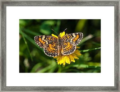 Northern Crescent Butterfly Framed Print