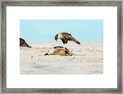 Northern Crested Caracara On A Carcass Framed Print