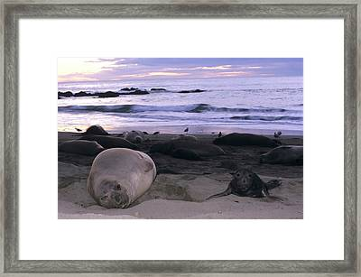 Northern Elephant Seal Cow And Pup At Sunset Framed Print
